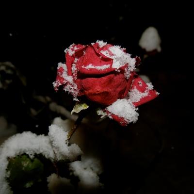 ..og rosene blømar