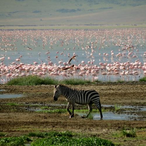 zebra og flamingo