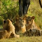 Løvemorgen
