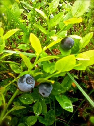 villtur i blåbærlyng